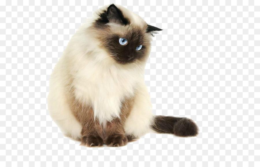 Petit Chat Siamois Adopter Un Chat Siamois Dans Les Refuges De La Fondation