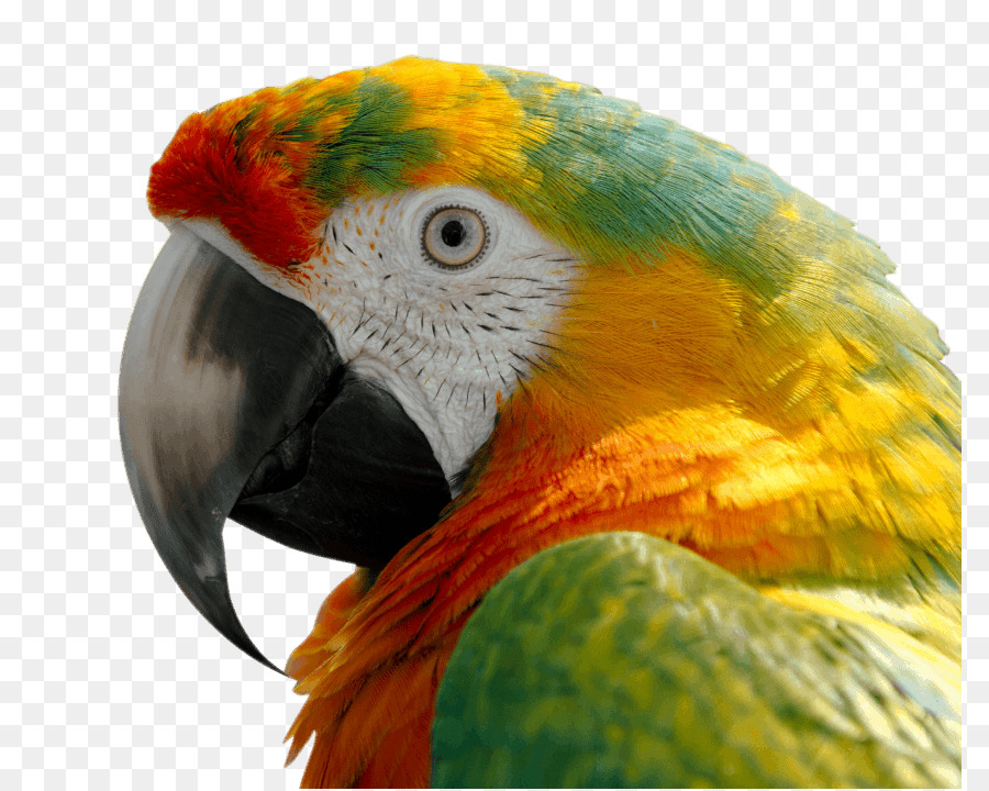 Oiseau Perruche Ondulee Ara Png Oiseau Perruche Ondulee Ara Transparentes Png Gratuit